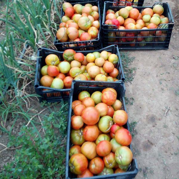 Tomate Eco Gordo Huerta