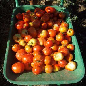 Comprar tomate de ensalada Talaverano